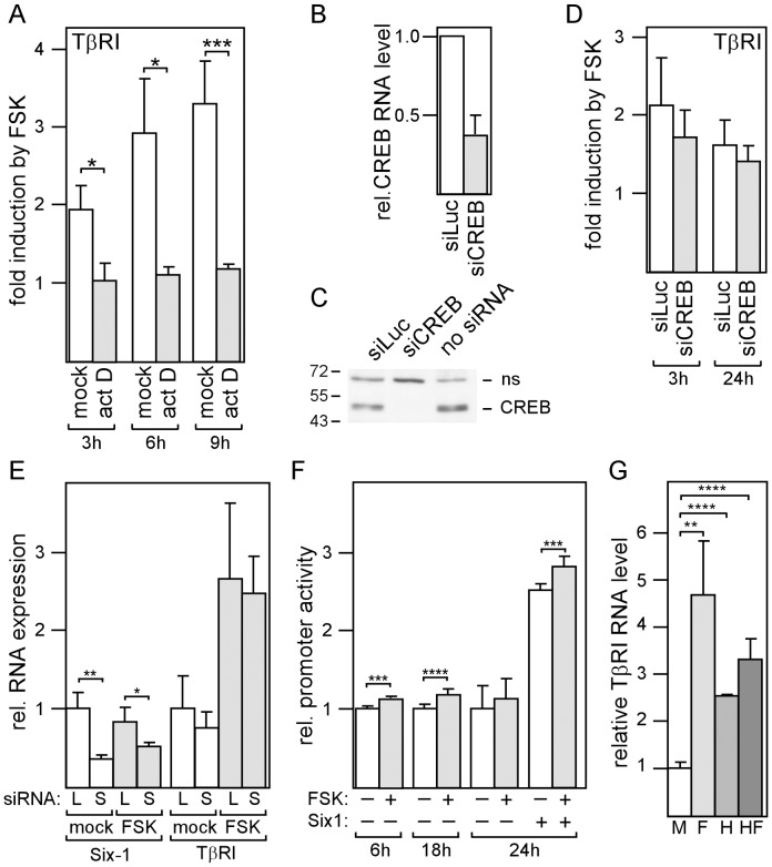 The forskolin effect on TβRI requires transcription to be active, but is independent of CREB. (A) MDA-MB-231 cells were incubated with either actinomycin to block transcription or mock-treated for 24 h and analyzed for TβRI RNA levels by Q-RT-PCR. (B-D) Cells were transfected with either siCREB, siLuc or no siRNA, incubated for three days, treated for an additional 3 or 24 h with forskolin or mock (D) and analyzed for TβRI RNA (B, D) or protein levels (C) by Q-RT-PCR or by the Western blot technique (ns = non-specific band), respectively. (E) Cells were transfected with siSix1 (S) or siLuc (L), incubated for three days, treated with forskolin or mock o/n and analyzed for Six1 and TβRI RNA expression by Q-RT-PCR. (F) The TβRI promoter is responsive to cAMP. MDA-MB-231 cells were transfected with TβRI promoter/dual luciferase construct, incubated o/n and treated with forskolin (FSK) or mock for 6, 18 or 24 hours as indicated and analyzed for firefly and renilla (control) luciferase. (G) MDA-MB-231 cells were incubated with forskolin, HDACi III, forskolin plus HDACi III or mock-treated for 24 h and analyzed for TβRI expression by Q-RT-PCR. Each bar represents the mean value ± S.D. of 3 independent experiments. Relative promoter activity denotes the ratio of firefly to renilla luciferase activity. Each bar represents the mean value ± S.D. of 3–10 independent experiments. * p-value
