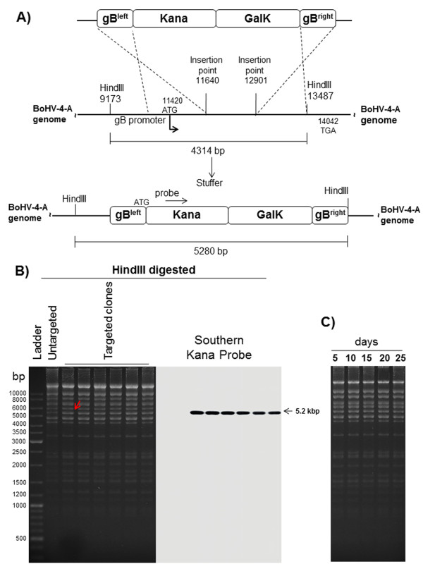 BoHV-4 gB disruption. A) Overall strategy to delete a 1261 bp sequence from the ORF8 coding for gB, via heat inducible homologous recombination. The 2232 bp Kana-GalK selectable DNA stuffer, flanked by ORF8 homologous regions, was introduced between positions 11640 and 12901 of the BoHV-4-A strain cloned as a BAC. The expected ORF8 locus (A, bottom) has an increased size of the <t>HindIII</t> fragment (5280 instead of 4314 bp), generated by HindIII restriction enzyme digestion. The diagrams here presented are not to scale. B) HindIII Restriction profile and corresponding Southern Blotting of six representative targeted clones, compared to the untargeted control. Southern Blotting was performed with a probe spanning Kana sequence and confirmed the above data. C) Clonal stability of the pBAC-BoHV-4-A-ΔgBKanaGalK in Escherichia coli SW102 cells, passaged for 25 consecutive days and analyzed by HindIII digestion and agarose gel electrophoresis.