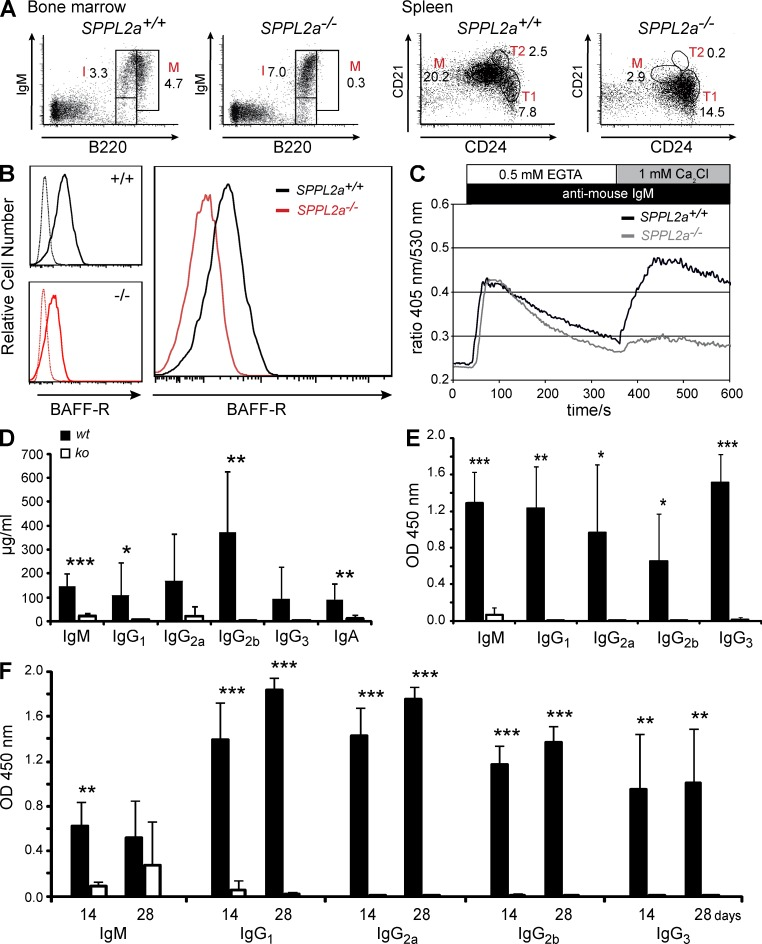 B cell maturation pathways and B cell function are impaired in SPPL2a −/− mice. (A) BM from either wild-type or SPPL2a-deficient mice was transplanted into irradiated Rag2 −/− cγc −/− mice. After 10 wk, B cell subsets in BM and spleen were analyzed by co-staining of B220 together with IgM or CD21 and CD24, respectively, and quantified as percentage of viable cells (numbers). Data shown are representative of eight experiments ( Table 3 ). (B) B220 + cells were isolated from spleens of SPPL2a +/+ and SPPL2a −/− mice and stained for CD21, CD24, and BAFF-R. Histograms show the BAFF-R expression on SPPL2a +/+ (solid line, black) and SPPL2a −/− (solid line, red) T1 B cells (B220 + CD21 low CD24 high ) from a representative of three independent experiments. Specificity of the BAFF-R staining was confirmed by the respective isotype controls (dashed lines). (C) Splenocytes from SPPL2a −/− and wild-type mice were stained for B220, CD21, and CD24 and loaded with the ratiometric Ca 2+ -sensitive fluorophore Indo-1-AM. After monitoring of basal Ca 2+ concentrations in T1 B cells (B220 + CD21 low CD24 high ) for 30 s, cells were stimulated with goat anti–mouse IgM F(ab') 2 fragments and Ca 2+ flux was recorded for 5 min in the absence of extracellular Ca 2+ and for an additional 5 min in the presence of 1 mM extracellular CaCl 2 . Data are representative of three experiments and were also confirmed in repopulated RAG −/− cγc −/− mice (not depicted). (D) Plasma immunoglobulin levels were measured in wild-type ( wt ) and SPPL2a −/− mice ( ko ). Mean ± SD; n = 8–12. ***, P