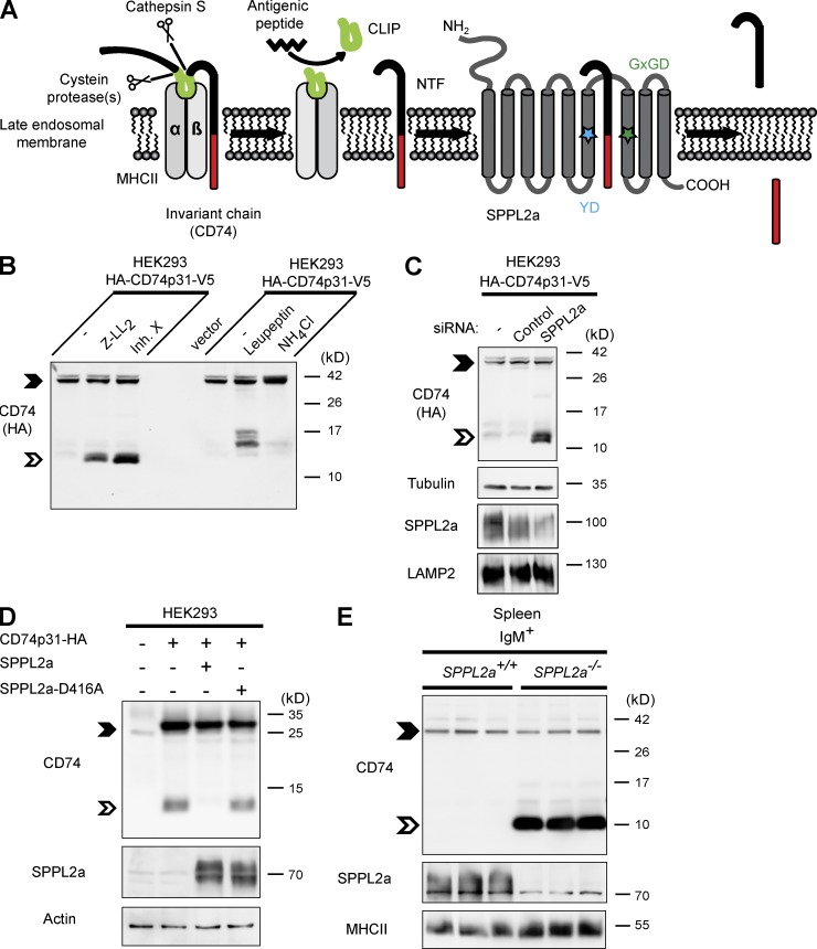 The intramembrane protease SPPL2a cleaves CD74 NTF. (A) Scheme of proteolytic degradation of CD74 in MHCII compartments, where the luminal domain is removed in a stepwise fashion by endosomal proteases and finally released from the MHCII dimer by cathepsin S. A small fragment (CLIP) persists inside the peptide-binding groove of MHCII, which is subsequently replaced with an antigenic peptide before the MHCII–peptide complex is transported to the plasma membrane. The remaining transmembrane NTF (82 aa) of CD74 is then proteolyzed by SPPL2a. The catalytically critical YD and GxGD motifs of SPPL2a are indicated by colored asterisks. (B) HEK293 cells stably expressing the p31 isoform of CD74 (HA-CD74p31-V5) were treated with 10 µM (Z-LL) 2 -ketone, 1 µM inhibitor X, 100 µM <t>leupeptin</t> or 25 mM NH 4 Cl for 5 h. The CD74 NTF is indicated by the open arrowheads. Full-length CD74 (closed arrowheads) and CD74 NTF were detected with anti-HA recognizing the epitope tag fused to the N terminus of the protein. (C) Transient knockdown of SPPL2a in HEK293 cells stably expressing HA-tagged CD74 (HA-CD74p31-V5). SPPL2a and the lysosomal membrane protein LAMP2 as control were analyzed in carbonate-washed membranes from the same batch of cells for enhancing SPPL2a detectability. (D) SPPL2a or the inactive D416A mutant were transiently co-expressed with CD74, followed by detection with anti-CD74 (In-1). (E) Using an antibody against an N-terminal epitope of CD74, endogenous CD74 was analyzed in splenic IgM + B cells isolated from SPPL2a −/− and control mice. (B–E) Electrophoretic separation before detection of CD74 was performed by standard Tris-Glycine SDS-PAGE (D) or using a Tris-Tricine buffer system (B, C, and E) with improved resolution in the low-molecular weight range. Equal protein loading was confirmed as indicated. Data are representative of three independent experiments.