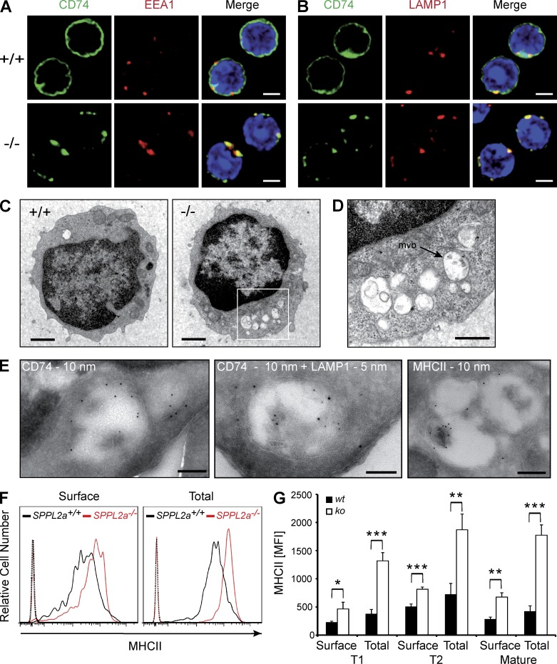 Disturbance of membrane traffic within the endocytic system of SPPL2a −/− B cells. (A and B) Visualization of CD74 in isolated splenic SPPL2a +/+ and SPPL2a −/− B cells by indirect immunofluorescence using an antibody against an N-terminal epitope detecting the NTF and the full-length protein. EEA1 (A) and LAMP1 (B) served as markers of early endosomes and lysosomes/late endosomes, respectively. Bars, 2 µm. (C) Transmission electron microscopy of splenic IgM + B cells from wild-type or SPPL2a −/− mice. Bars, 1 µm. (D) Vacuoles in SPPL2a −/− B cells exhibited various contents of low-electron density. Occasionally, multivesicular bodies (mvb) were observed (arrow). Bar, 500 nm. (E) Presence of CD74 NTF, LAMP1, and MHCII in vacuoles of IgM + B cells from SPPL2a −/− mice was assessed by immunogold labeling. Bars, 200 nm (CD74 and MHCII single labeling) or 100 nm (CD74 + LAMP1 double labeling). (F and G) Surface and total MHCII levels in transitional stage T1 B cells (B220 + CD21 low CD24 high ) of SPPL2a-deficient or wild-type mice. Splenocytes were stained for B220, CD21, and CD24, allowing for identification of B cell subsets. Subsequently, cells were incubated with anti-MHCII with or without previous permeabilization and analyzed by flow cytometry. Surface and total MHCII levels are shown as histograms representative of three independent experiments or as mean of median fluorescence intensity (MFI) from three mice per genotype (G). ***, P
