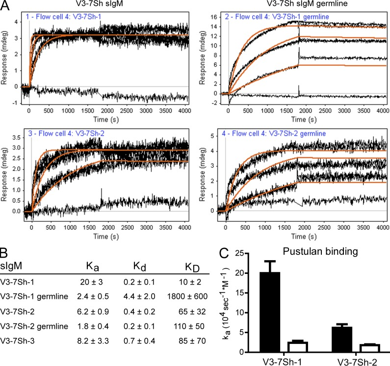 V3-7Sh BCR are selected for β-(1,6)-glucan affinity. (A) SPR curves of binding of pustulan (0, 0.3, 1, and 3 µg/ml) to V3-7Sh sIgM (left) and V3-7Sh sIgM after reversion of somatic mutations (V3-7Sh germline; right). The response curves were fitted to a 1:1 binding model (orange lines). Curves are representative of two independent experiments. (B) Kinetic constants for pustulan binding to V3-7Sh sIgM. k a in 10 4 sec −1 M −1 , k d in 10 −5 sec −1 , K D in pM. Kinetic constants were calculated with data from at least five different anti-IgM–coated spots. The error value is the deviation in the kinetic constants between different coated spots. For calculations, an estimated average molecular weight of 20 kD was used for pustulan. (C) Association constants ( k a ) of pustulan binding to V3-7Sh sIgM with somatic mutations (black bars) and after reversion of somatic mutations to IGHV3-7 germline determined by SPR (white bars). Data are representative of two independent experiments.