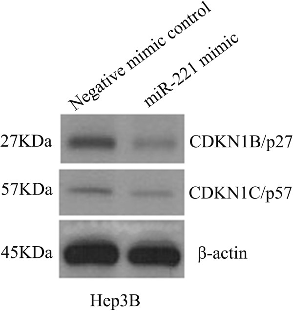 Expression of CDKN1B/p27 and CDKN1C/p57 proteins after miR-221 mimic transfection. HCC Hep3B cells were transfected with miR-221 mimic and negative control for 96 hrs, and the protein levels of CDKN1B/p27 and CDKN1C/p57 were performed using western blot.