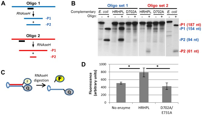 Recombinant HBV RNAseH is enzymatically active. A. Oligonucleotide-directed RNAseH assay. Uniformly 32 P-labeled RNA (blue or red) is annealed to a complementary DNA oligonucleotide (black). RNAseH activity cleaves the RNA in the heteroduplex formed where the oligonucleotide anneals to the RNA and yields two products (P1 and P2). B. Recombinant HBV RNAseH is active. An oligonucleotide-directed RNAseH assay was conducted with E. coli RNAseH, wild-type HBV RNAseH (HRHPL), or RNAseH-deficient HRHPL (D702A). A complementary oligonucleotide (+) or non-complementary oligonucleotide (−) was mixed with labeled DRF+ RNA and the reactions were incubated to allow RNAseH activity. The products were resolved by SDS-PAGE and the RNAs were detected by autoradiography. Oligonucleotide set 1 was D2507− and D2526+ and oligonucleotide set #2 was D2543M-Sal and D2453+. The positions of the cleavage products (P1 and P2) are indicated in blue for reactions containing oligonucleotide D2507− and in red for reactions containing oligonucleotide D2543M-Sal. C. FRET-based RNAseH assay. A self-complementary chimeric RNA:DNA synthetic oligonucleotide (RHF1) forms a stem-loop in which the stem is an RNA:DNA heteroduplex. The stem brings the fluorescein (F) and quencher (Q) at the 5′ and 3′ ends of the oligonucleotide into close proximity. Cleavage of the RNA releases the fluorescein and increases its fluorescence. D. Detection of HBV RNAseH activity employing the fluorescent assay. The substrate in panel C was employed in an RNAseH assay employing buffer alone, wild-type HBV RNAseH (HRHPL), or RNAseH-deficient HRHPL (D702A/E731A). *, P