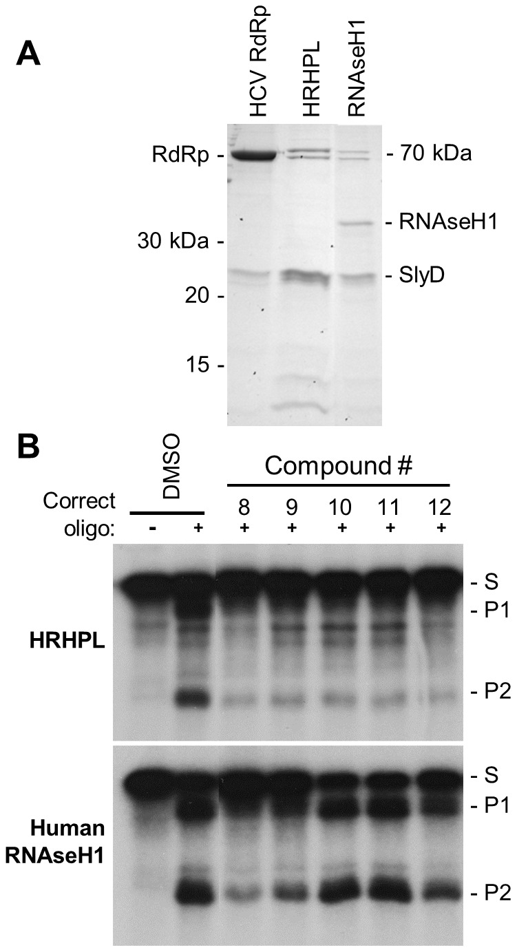 Activity of HBV RNAseH inhibitors against human RNAseH1. A. Proteins in the enriched recombinant human RNAseH1 lysates employed in the RNAseH reactions were detected by Coomassie-blue staining following SDS-PAGE. B. An oligonucleotide-directed RNAseH assay was conducted with wild-type HBV RNAseH (genotype D) and recombinant human RNAseH1 under identical reaction conditions. The inhibitory compounds were employed at 10 µM. The upper and lower panels are from the same experiment and the data were collected on a single sheet of film, so the reactions can be directly compared. DMSO, vehicle control. S, the DRF+ substrate; P1 and P2, RNAseH cleavage products.