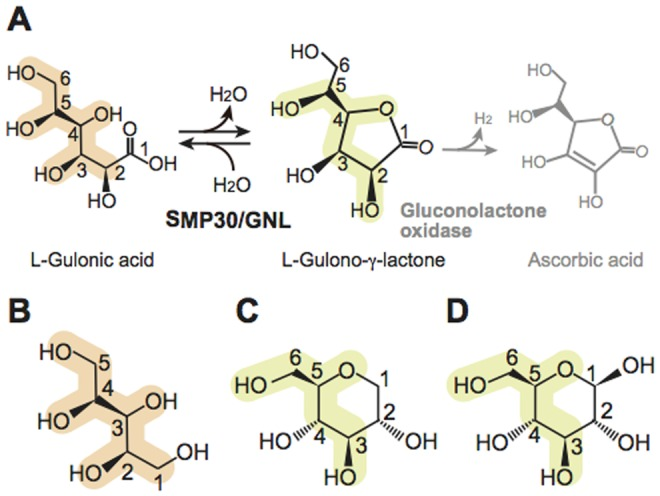 Catalytic reaction of mouse SMP30/GNL. ( A ) The γ-lactone-forming reaction catalyzed by mouse SMP30/GNL. The product of the catalytic reaction of SMP30/GNL is l -gulono-γ-lactone, which is in turn converted to ascorbic acid by gluconolactone oxidase. ( B–D ) Substrate and product analogues used in this study: ( B ) xylitol, ( C ) 1,5-anhydro- d -glucitol (1,5-AG), and ( D ) d -glucose. Corresponding atoms in these molecules are marked in light orange and light yellow.