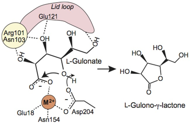 Proposed catalytic reaction mechanism of mouse SMP30/GNL. The divalent metal ion in the active site is labeled as M 2+ .