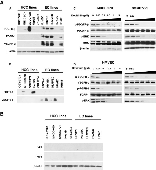 Expression profile of RTKs and the effect of dovitinib on RTK signaling in HCC and endothelial cells. A ) Expression of PDGFR-β, FGFR-1, and VEGFR-2 in HCC and endothelial cell lines as detected by immunoblotting. B ) Expression of FGFR-3, and VEGFR-1 in HCC and endothelial cell lines C ) Phosphorylation of p-PDGFR-β and p-ERK were inhibited by dovitinib at pharmacologically relevant concentrations in MHCC-97H and SMMC7721 cells. D ) Dovitinib inhibited the phosphorylation of FGFG-1, VEGFR-2, and downstream ERK in HMVEC and HUVEC endothelial cells at pharmacologically relevant concentrations.