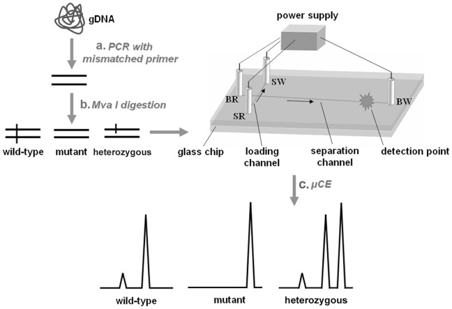 Schematic view of microfluidic capillary electrophoresis-based restriction fragment length polymorphism (µCE-based RFLP) platform. (a) Mismatched primer PCR. A KRAS gene fragment containing codon 12 was amplified from gDNA with mismatched primer, by which a base substitution was introduced to the amplicon and a Mva I restriction endonuclease recognition site was created for wild-type codon 12. (b) Mva I digestion. The amplicon from wild-type template could be cleaved into two fragments, the amplicon from mutant template could not be digested due to the loss of recognition site, and the amplicon from heterozygous template was halfly digested. (c) µCE. The digested amplicon was loaded into microfluidic chip and separated by CE according to the fragment length. The wild type template resolved into two peaks, the mutant template only showed one peak, and the heterozygous template resolved into three peaks. gDNA, genomic DNA. SR: sample reservoir; BR: buffer reservoir; SW: sample waste reservoir; BW: buffer waste reservoir. →, the direction of fluid flow during sample loading and separation modes.