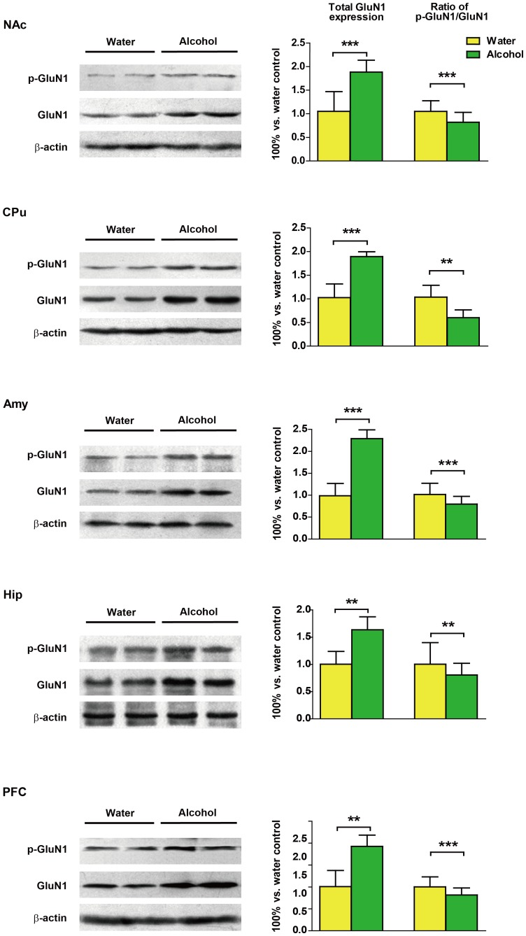 Effects of long-term alcohol intake on N-methyl-D-aspartate-type glutamate receptors 1 (GluN1) expression and phosphorylation (Ser897) in the nucleus accumbens (NAc), caudate putamen (CPu), amygdala (Amy), hippocampus (Hip) and the prefrontal cortex (PFC). Total-GluN1 expression was significantly increased. Obvious decreases were found in the phospho/total-GluN1 in all of the five brain regions examined. Data represent mean ± SD relative to water-drinking controls that were set as 100%. β-actin was used as a loading control. * p
