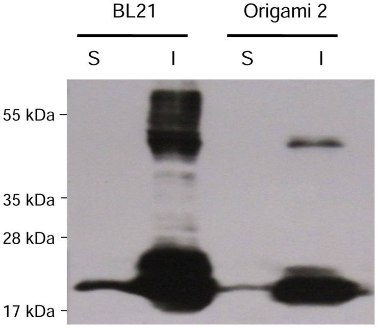 Western blotting analysis of the IL6-expressing E. coli strains BL21 and Origami 2. (S) soluble and (I) insoluble fraction of IL6.
