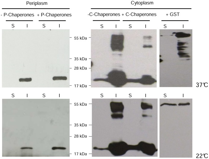 Western blotting analysis of the IL6 expression in the cytoplasm and periplasm of E. coli BL21. (S) soluble and (I) insoluble fraction of IL6, expressed with and without the concomitant overexpression of endogenous cytoplasmic chaperones DnaK, DnaJ, GrpE, GroES, GroEL (C-Chaperones) or periplasmic chaperones DsbA, DsbC, SurA, FkpA (P-Chaperones) at 37°C and 22°C, respectively. Additionally, IL6 was expressed fused to GST in the cytoplasm.