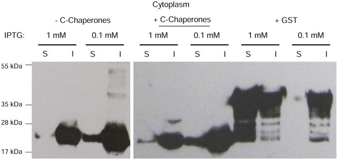 Western blotting analysis of the IL6 expression with reduced IPTG concentrations. (S) soluble and (I) insoluble fraction of IL6, expressed with either 1 mM or 0.1 mM IPTG at 22°C in the cytoplasm of the E. coli <t>BL21</t> strain with and without the concomitant overexpression of endogenous cytoplasmic chaperones or in fusion to GST.