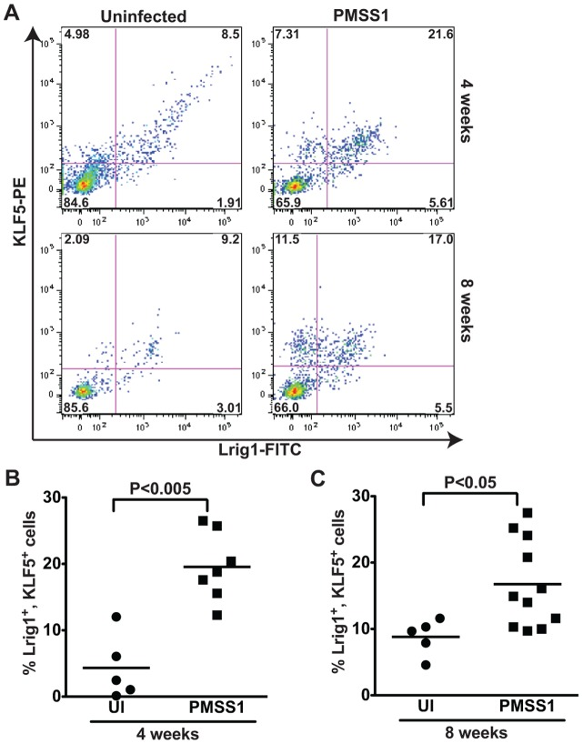 H. pylori induces expansion of a KLF5 + , Lrig1 + cell population in vivo . (A) Flow cytometry dot plots demonstrate Lrig1 and KLF5 immunostaining in representative gastric epithelial cells from uninfected and H. pylori -infected mice at 4 and 8 weeks. The percentage of Lrig1 + , KLF5 + cells was quantified in uninfected and H. pylori -infected mice at 4 weeks (B) and 8 weeks (C). Each data point represents gastric epithelial cells analyzed from a single animal and mean values are shown. Circles designate uninfected mice, and squares represent H. pylori -infected mice. Mann-Whitney and ANOVA tests were used to determine statistical significance between groups.