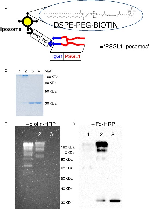 Production of a protein G-streptavidin conjugate for linkage of immunoglobulin G Fc containing ligands to liposomes. ( a ) Outline of the strategy for the linkage of liposomes presenting PEG-biotin to the targeting ligand PSGL1-Fc via a linker comprised of streptavidin (for biotin binding) and protein G (for Fc binding). ( b ) Coomassie stained SDSPAGE of protein G-streptavidin conjugates formed at ratios of; lane 1 = 3 streptavidin : 1 protein G, lane 2 = 1 streptavidin : 4 protein G, lane 3 = free protein G in reaction buffers, lane 4 = free protein G direct from stock. ( c ) Probing of nitrocellulose with biotin-HRP; lane 1 = 3 streptavidin : 1 protein G, lane 2 = 1 streptavidin : 4 protein G, lane 3 = free protein G in reaction buffers. ( d ) Probing of nitrocellulose with Fc-HRP; lane 1 = 3 streptavidin : 1 protein G, lane 2 = 1 streptavidin : 4 protein G, lane 3 = free protein G in reaction buffers.