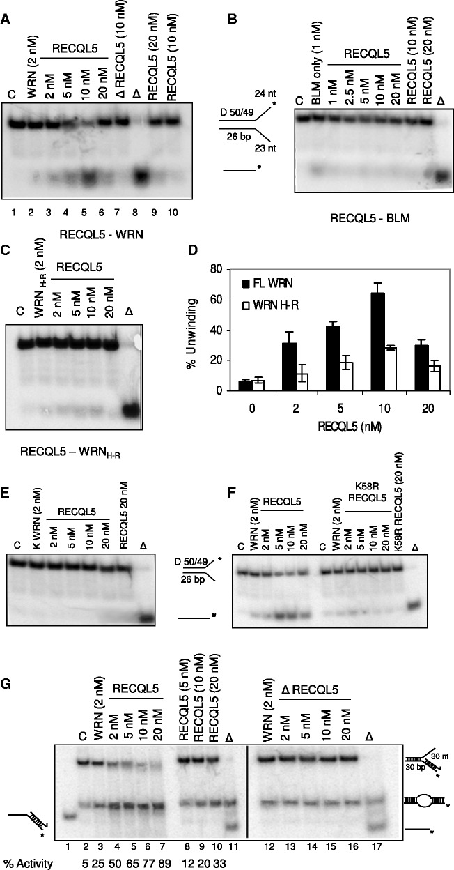 RECQL5 specifically stimulates the helicase activity of WRN but not BLM on fork duplexes. Helicase assays of ( A ) WRN (2 nM), ( B ) BLM (1 nM) and ( C ) GST fragment WRN H−R (2 nM) were performed in the presence of increasing concentrations of RECQL5 (2–20 nM). ( D ) Quantification of WRN unwinding activity in the presence of increasing concentrations of RECQL5. The plot represents mean of three independent experiments with error bars. ( E ) Helicase assays of K-WRN (2 nM) on a forked duplex with increasing concentrations of RECQL5. ( F ) Effect of increasing concentrations of both wt-RECQL5 and K58R RECQL5 on the helicase assays of WRN (2 nM) on a forked duplex. Helicase-dead K58R RECQL5 could not stimulate WRN as wt-RECQL5 under similar conditions. ( G ) Strand exchange of 2 nM WRN on a 3′-flap duplex with increasing concentrations of RECQL5 (2–20 nM). A synergistic increase in strand exchange of WRN was observed, indicating a functional co-operation of RECQL5 and WRN on synthetic stalled replication forks lacking the leading strand.