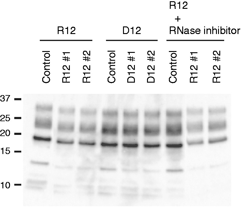 Anti-prion activity of r(GGAGGAGGAGGA) (R12) and d(GGAGGAGGAGGA) (D12). Western blotting of PrP Sc in GT + FK cells after treatment with either 10 μM R12 or D12. Two independent experiments, #1 and #2, are shown. The control was treated with just the buffer solution. The treatment with R12 was also performed in the presence of an RNase inhibitor, RNasin. Molecular mass markers are shown at the left.