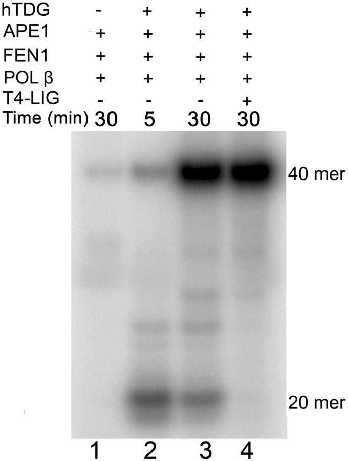 In vitro reconstitution of the BER pathway using 8oxoA•T duplex DNA substrate. 5 nM 40 mer 8oxoA•T duplex was incubated in the presence of 20 nM hTDG, 5 nM APE1, 2 nM FEN1, 0.1 U POL-β and 5 nM T4 DNA ligase in buffer containing 20 µCi of [α- 32 P]dATP, 50 µM dNTPs, 50 mM HEPES–KOH (pH 7.6), 30 mM NaCl, 0.1 mg/ml BSA, 2 mM DTT, 2 mM ATP and 3 mM MgCl 2 for 5 and 30 min at 37°C. Lane 1, 30 min in the absence of hTDG and T4 DNA ligase; lane 2, 5 min in the absence of T4 DNA ligase; lane 3, same as 2, but 30 min; lane 4, 30 min in the presence of all proteins. For details see 'Materials and Methods' section.