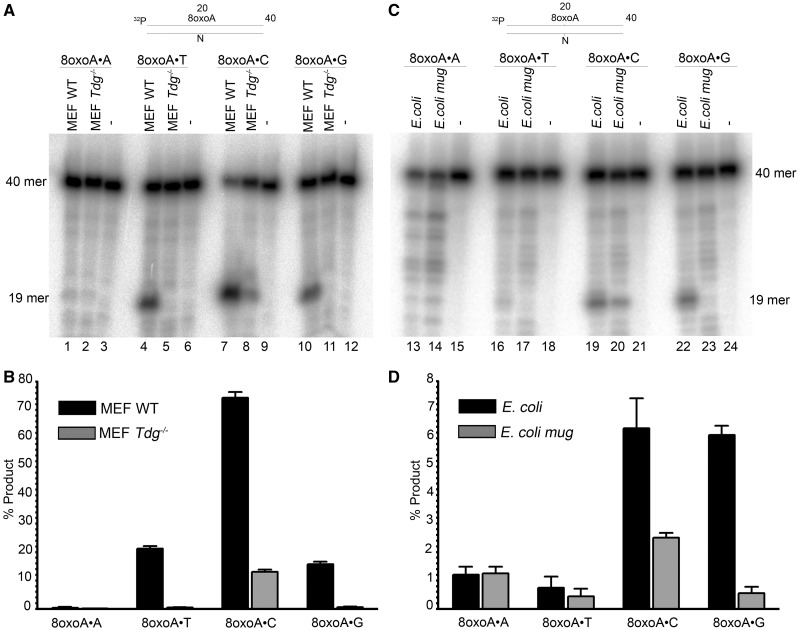 DNA repair activities towards 8oxoA containing duplex oligonucleotides in extracts from E. coli and mouse cells. 2.5 nM 5′-[ 32 P]-labelled 40 mer 8oxoA•N oligonucleotide duplexes was incubated with either 30 µg of MEFs extract or 20 µg of E. coli cell extract. The repair assay (volume 100 µl) was performed in BER + EDTA buffer containing 50 mM KCl, 20 mM HEPES–KOH (pH 7.6), 0.1 mg/ml BSA, 1 mM DTT and 1 mM EDTA, for 1 h at 37°C. The reactions were stopped by adding SDS and proteinase K. ( A ) Denaturing PAGE analysis of the cleavage products after incubation of 8oxoA•N duplexes with mouse cell extracts. ( B ) Graphic representation of the mean values of cleavage activities in mouse cell extracts. ( C ) Denaturing PAGE analysis of the cleavage products after incubation of 8oxoA•N duplexes with E. coli cell extracts. ( D ) Graphic representation of the mean values of cleavage activities in E. coli cell extracts. For details see 'Materials and Methods' section.