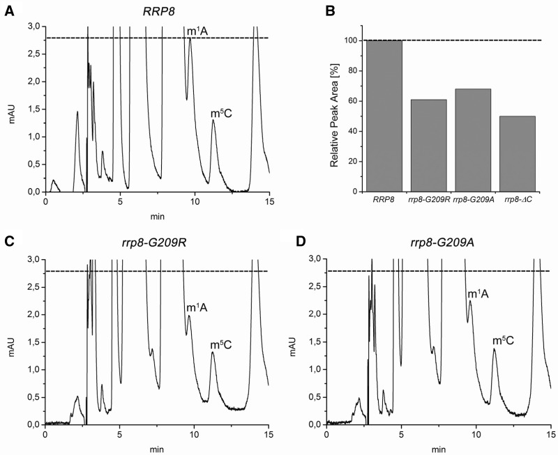 RP-HPLC analysis of 25S rRNA nucleosides from rrp8–G209R and rrp8–G209A mutant cells. After sucrose gradient centrifugation, 60S subunits were collected with the Density Gradient Fractionation System (Teledyne Isco), and 25S rRNA was isolated. The 25S rRNA was digested with nuclease P1 and bacterial alkaline phosphatase (Sigma-Aldrich). Nucleosides from the mutants ( C and D ) together with the respective wild-type strain ( A ) were analysed by RP-HPLC on a Supelcosil LC-18-S HPLC column (25 cm × 4.6 mm, 5 μm) equipped with a pre-column (4.6 × 20 mm) at 30°C on an Agilent 1200 HPLC system. ( B ) Estimation of m 1 A peak areas in different rrp8 mutants. The m 1 A peak areas detected in the RP-HPLC analysis of the corresponding strain were estimated using the Agilent ChemStation software. The value for the wild-type was set to 100%.