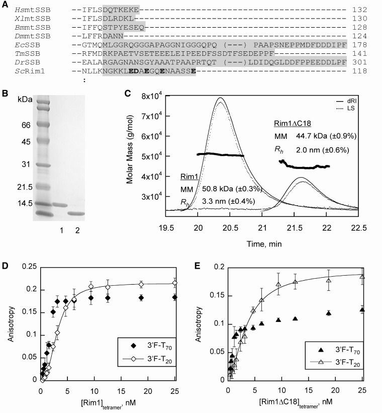 Purification and characterization of recombinant Rim1 protein and its C-terminal truncation variant. ( A ) Multiple sequence alignment of eukaryotic mitochondrial SSBs and bacterial SSBs using the ClustalW2 program to determine the C-terminal tail region of Rim1. The sequences for H. sapiens mtSSB ( Hs mtSSB) (GenBank™ accession: NP_003134), Xenopus laevis mtSSB ( Xl mtSSB) (GenBank™ accession: NP_001095241), Bombyx mori mtSSB ( Bm mtSSB) (GenBank™ accession: ABF51293), D. melanogaster mtSSB ( Dm mtSSB) (GenBank™ accession: AAF16936), E. coli SSB ( Ec SSB) (GenBank™ accession: YP_859663), Thermotoga maritima ( Tm SSB) (GenBank™ accession: Q9WZ73), Deinococcus radiodurans SSB ( Dr SSB) (GenBank™ accession: Q9RY51) and S. cerevisiae Rim1 ( Sc Rim1) (GenBank™ accession: AAB22978) are used for the alignment. The sequence alignment determined that the first 100 amino acids from the N-terminal end of Rim1 are involved in formation of the OB-fold domain, and the remaining 18 amino acids from the C-terminal end form the putative unstructured tail region. The amino acid sequences involved in the formation of the C-terminal tails of SSB proteins are highlighted in gray. The C-terminal tail of Rim1 contains five acidic amino acids that are indicated in bold. ( B ) Coomassie blue stained 15% SDS–PAGE gel to visualize purified Rim1 (lane 2) and Rim1ΔC18 (lane 2). The purified proteins were > 95% homogenous as assessed from the gel. ( C ) SEC-MALS detection reveals that the Rim1 and Rim1ΔC18 exist as a tetramer. The theoretical MM of monomeric Rim1 and Rim1ΔC18 is 13.29 and 11.43 kDa, respectively. The observed MM and hydrodynamic radius ( R h ) for Rim1 and Rim1ΔC18 proteins are as indicated. ( D ) Rim1 binding affinity for ssDNA was evaluated by fluorescence anisotropy. The anisotropy values for Rim1 binding to 1 nM 3′F-T 20 (open diamonds) and 3′F-T 70 (closed diamonds) were plotted as average values from three experiments with a standard deviation. Rim1 binding data to 3′F-T 