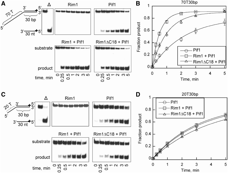 Rim1 and Rim1ΔC18 stimulate Pif1 DNA helicase activity. ( A ) Pif1-catalyzed separation of a partial duplex DNA substrate, 70T30bp, under multiple turnover conditions in the presence or absence of Rim1 or Rim1ΔC18 protein. ( B ) Formation of ssDNA product over time was quantified and plotted as the average of at least three independent reactions with a standard deviation for Pif1 alone (circles), Rim1+Pif1 (squares) and Rim1ΔC18+Pif1 (triangles) from (A). The data were fit to a single exponential resulting in observed rate constants of 0.44 ± 0.04, 1.8 ± 0.1 and 0.90 ± 0.02 per min for Pif1 alone, Rim1+Pif1 and Rim1ΔC18+Pif1, respectively. ( C ) Pif1-catalyzed separation of a partial duplex DNA substrate, 20T30bp, under multiple turnover conditions in the presence or absence of Rim1 or Rim1ΔC18 protein. ( D ) The fraction of ssDNA product formed over time for Pif1 alone (circles), Rim1+Pif1 (squares) and Rim1ΔC18+Pif1 (triangles) from (C) was quantified and plotted as the average of at least three independent reactions with a standard deviation. The observed rate constants for Pif1 alone, Rim1+Pif1 and Rim1ΔC18+Pif1 were 0.30 ± 0.01, 0.31 ± 0.01 and 0.25 ± 0.01 per min, respectively.