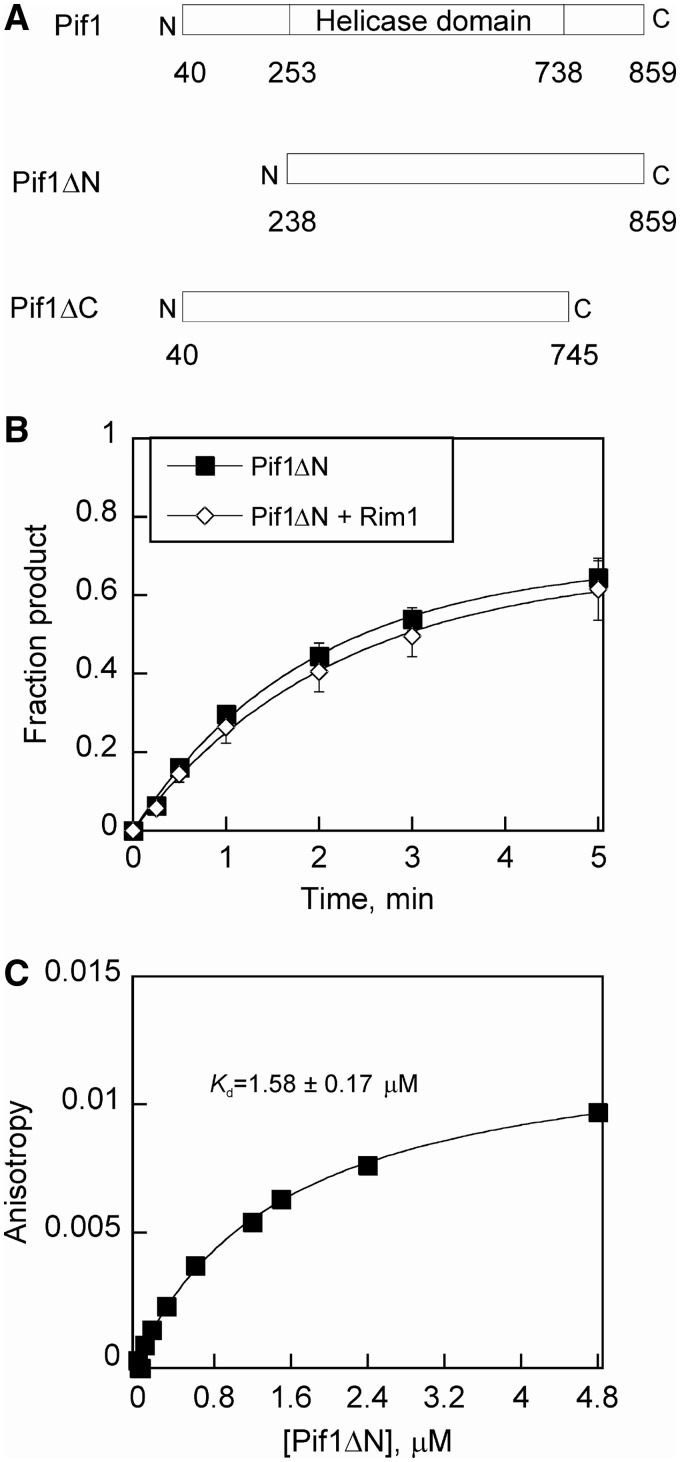 The N-terminal domain of Pif1 is essential for Rim1 mediated stimulation of helicase activity. ( A ) Schematic diagram of the Pif1 variants used: the N-terminal deletion mutant (Pif1ΔN) and the C-terminal deletion mutant (Pif1ΔC). ( B ) Results of Pif1ΔN-catalyzed separation of a partial duplex DNA substrate, 70T30bp, under multiple turnover conditions in the presence or absence of Rim1. The fraction of ssDNA formed over time for Pif1ΔN (closed squares) and Pif1ΔN+Rim1 (open diamonds) was plotted as the average of at least three independent experiments. The observed rate constants for Pif1ΔN and Pif1ΔN+Rim1 were 0.52 ± 0.03 and 0.46 ± 0.03 per min, respectively. ( C ) Binding affinity of Pif1ΔN with FAM-Rim1. Fluorescence anisotropy of FAM-Rim1 was plotted as a function of increasing concentrations of Pif1ΔN. Data were fit to the equation for a hyperbola to obtain a K d value of 1.6 ± 0.2 µM.