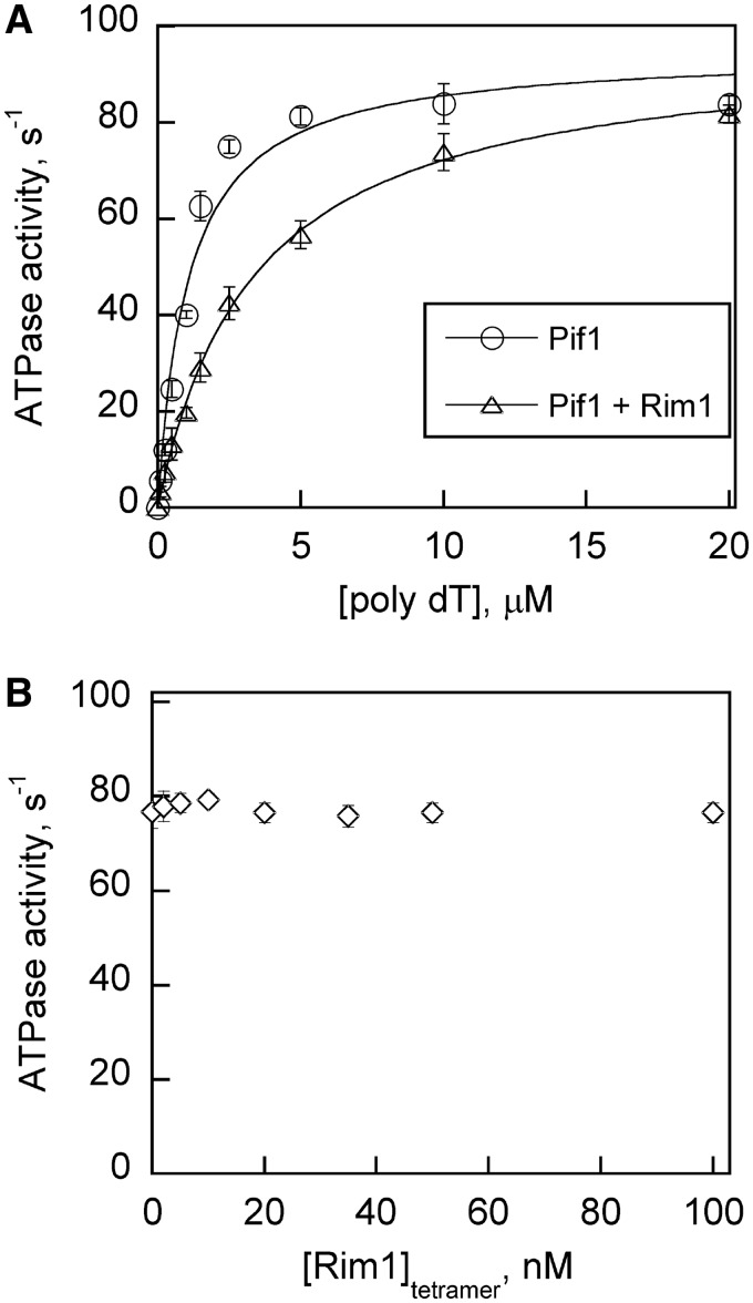 Rim1 has no effect on the k cat value for ATP hydrolysis catalyzed by Pif1. ( A ) DNA stimulated ATPase activity of Pif1 (100 nM) in the presence or absence of Rim1 (100 nM) at increasing concentrations of poly(dT). The ATPase activity of Pif1 was plotted as the average value from three independent experiments and data were fit to a hyperbola to obtain kinetic constants k cat and K eff . The observed k cat value for Pif1 was 94.7 ± 4.9 per s and it did not change in the presence of Rim1 (96.7 ± 1.8 per s). The measured K eff value for Pif1 was 1.07 ± 0.2 µM and it increased by 3-fold in the presence of Rim1 (3.4 ± 0.2 µM). ( B ) DNA-stimulated Pif1 (20 nM) ATPase activity at saturating concentrations of poly(dT) (20 µM) was measured with increasing concentrations of Rim1. The average Pif1 ATPase activity from three independent experiments was plotted. Titration with Rim1 had no effect on Pif1 ATPase activity.