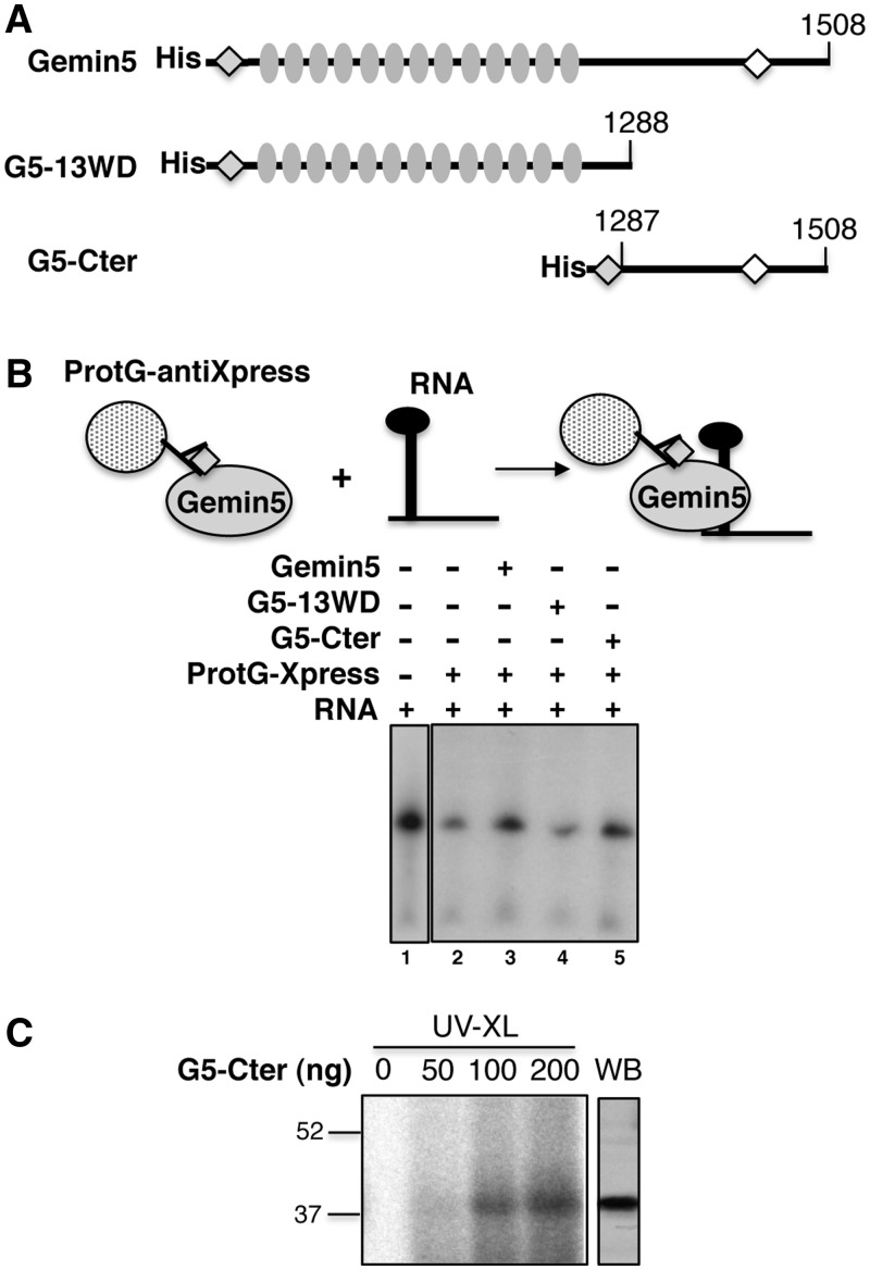 Identification of the Gemin5 region involved in IRES interaction. ( A ) Diagram of the His-tagged Gemin5 proteins used in this study. Numbers indicate the amino acids encompassed by Gemin5 (full-length protein), G5-13WD (N-terminal region) or G5-Cter (C-terminal region). The Xpress epitope at the N-terminal end present in all proteins and the epitope recognized by anti-Gemin5 antibody are depicted by a grey or white diamonds, respectively; grey ovals depict the 13 WD repeats. ( B ). Schematic representation of the RNA-binding assay (top). Dotted circles depict agarose beads bound to anti-Xpress antibody; Xpress-tagged Gemin5 is depicted by grey ovals with a grey diamond, radiolabelled RNA is depicted in black. Autoradiograph of a denaturing 6% acrylamide gel, 7 M Urea loaded with RNAs isolated from protein G-Xpress antibody beads coupled to the indicated proteins (bottom). ( C ) UV-crosslinking (UV-XL) assay conducted with increasing amounts (0 to 200 ng) of purified His-tagged G5-Cter and radiolabelled domain 5. The mobility of the same protein detected by western blot (WB) using anti-Gemin5 is shown on the right.