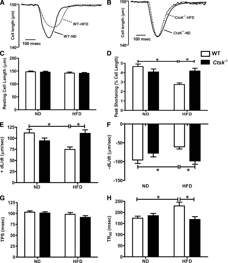 Cardiomyocyte contractile properties in wild-type (WT) and cathepsin K knockout mice fed normal diet (ND) or high-fat diet (HFD). A and B : Representative traces from cardiomyocytes isolated from wild-type and cathepsin K knockout mice. C–H : Resting cell length, peak shortening (normalized to cell length), maximal velocity of shortening (+dL/dt), maximal velocity of relengthening (−dL/dt), time-to-peak shortening (TPS), and time to 90% relengthening (TR 90 ), respectively. Mean ± SEM, n = 76–87 cells per group. * P