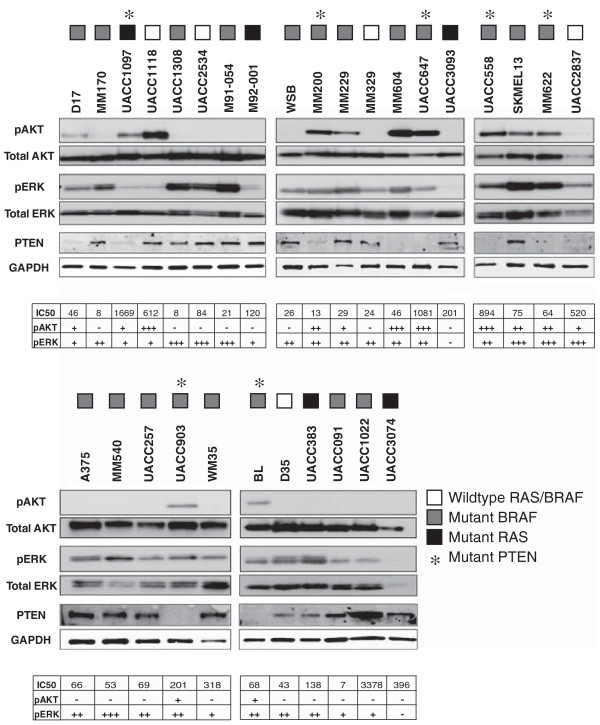Downstream PI3K and MAPK pathway activation. Melanoma cells were starved in 0.2% FBS overnight and then protein lysates were collected and evaluated by Western blot analysis for activation of ERK1/2 and Akt. Numerical values for the IC50 of E6201 for each cell line, as well as phosphorylation status scoring for both ERK1/2 and Akt is provided in tabular form.