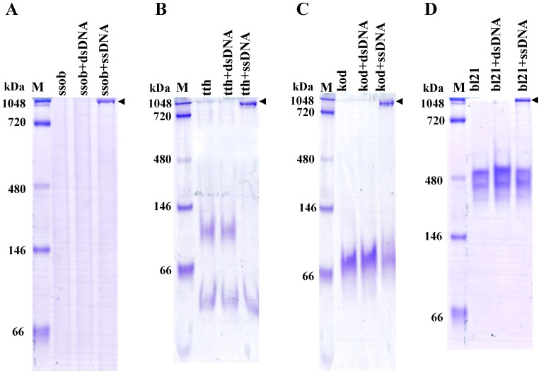 SSB proteins bind ssDNA. Non-denaturing gel electrophoresis (3.5–5–12%) was used to confirm SSB protein binding to ssDNA. Relative dsDNA was used as a binding control. M, monomer; D, dimer; T, tetramer. A, ssob binding ssDNA analysis. B, tth binding ssDNA analysis. C, kod binding ssDNA analysis. D, bl21 binding ssDNA analysis.
