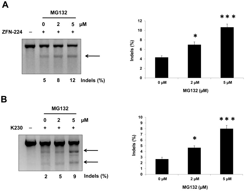 MG132 increases the frequency of ZFN-driven mutations. After transfection of plasmids encoding ZFNs ( A : ZFN-224; B : K230), 293T cells were treated with various concentrations of MG132. Genomic DNA was isolated and ZFN-driven mutations were analyzed by the T7E1 assay. Arrows indicate the expected positions of DNA bands cleaved by T7E1. ( A ) ZFN-224: Because the target site lies in the center of the amplicon (780 bp), T7E1 treatment of the heteroduplexed DNA gave rise to two DNA bands with almost same size (387 bp and 389 bp), which appear as a single band. ( B ) K230: Because the target site does not lie in the center of the ampicon, T7E1 treatment of the heteroduplexed DNA gave rise to two DNA bands (493 bp and 311 bp), observed as two separate bands. The numbers at the bottom of the gel denote mutation percentages calculated by band intensities. n = 3. * P