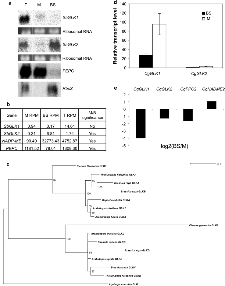 """Analysis of GLK gene expression in leaves of Sorghum bicolor and Cleome gynandra . a Gel blot of 10 µg total RNA extracted from total leaf (T), mesophyll (M) or bundle sheath (BS) cells of sorghum. The blot was hybridized with SbGLK1 and SbGLK2, and with maize PEPC (M cell-specific) and RbcS (BS cell-specific) sequences to confirm the purity of the cell preparations. Ethidium bromide stained ribosomal RNA bands are shown as loading controls. b Transcript levels of SbGLK1 and SbGLK2 in BS and M cells of sorghum as determined by 40 bp Illumina RNA sequencing, and quantified as reads per million (RPM) to two decimal places. Sorghum PEPC (M cell-specific) and NADP - ME (BS cell-specific) transcript levels demonstrate the purity of the cell extracts. Significance of differential gene expression between M and BS samples was calculated as described in the """" Results """". c Bootstrapped maximum likelihood phylogenetic tree of a subset of GLK genes from the Brassicales with the Aquilegia (Ranunculales) gene used as the outgroup. d qPCR of CgGLK1 and CgGLK2 with RNA extracted from C. gynandra M and BS cells separated by LCM. Values are shown relative to Actin7 transcript levels. Bars and error bars represent means and standard errors of three biological replicates, respectively. e Log2 of the ratio of BS/M transcript levels as determined by qPCR as in c . CgPPC2 (M cell-specific) and CgNADME2 (BS cell-specific) ratios confirm the purity of the cell preparations"""