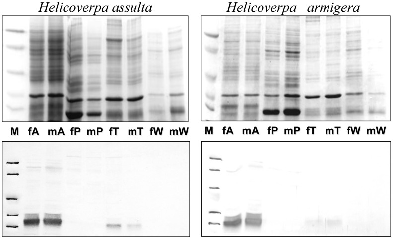 SDS-PAGE and Western blot of extracts from parts of the body of adults H. armigera and H. assulta . Upper panels: SDS-PAGE; lower panels: Western blot. (A); antennae, (P): proboscis, (T): tarsi, (W): wings of males (m) and females (f). The expression of OBP7 is limited to antennae with no significant differences between sexes or species. A weak staining in the extract of tarsi might indicate low levels of expression of OBP7 in such organ or cross-reactivity with other OBPs. Molecular weight markers ( M ) are as in Figure 1 .
