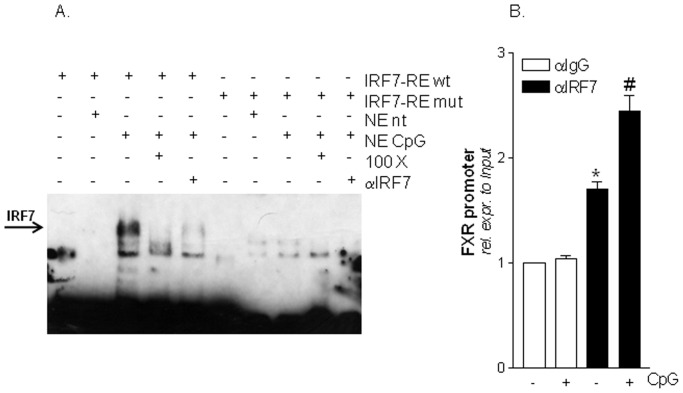 IRF7 binds to the an IRF7-RE located in the FXR promoter. (A) Electrophoretic Mobility shift assay (EMSA). Nuclear extracts from Raw264.7 cells left untreated or stimulated with CpG were incubated in the presence of a wild type or a mutated IRF7 biotin-labeled probe. Competition experiments were performed with a 100 fold excess of unlabeled oligo or with 1 µg IRF7 antibody. (B) Chromatin immunoprecipitation (ChIP). ChIP assay carried out in Raw264.7 cells left untreated or primed with CpG as described in materials and methods section. Values are normalized relative to input DNA concentration and are expressed relative to those of not treated cells immunoprecipitated with an anti <t>IgG</t> antibody, condition set as 1. Analysis was carried out in triplicate and the experiment was repeated twice. *P