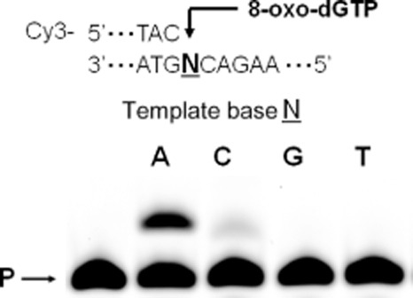 Incorporation of 8-oxo-dGTP by pol III*. The Cy3-labelled 18-mer primer/36-mer template (sequences 1, 0.1 μM) was treated with pol III* (1 nM) in the presence of 100 μM 8-oxo-dGTP. The reaction mixtures were incubated at room temperature for 1 min. The samples were analysed by denaturing polyacrylamide gel electrophoresis and visualized by the Molecular Imager as described in Experimental procedures . The alphabets shown in the figure indicate as follows: N, template base; A, adenine; C, cytosine; G, guanine; T, thymine; P, primer.