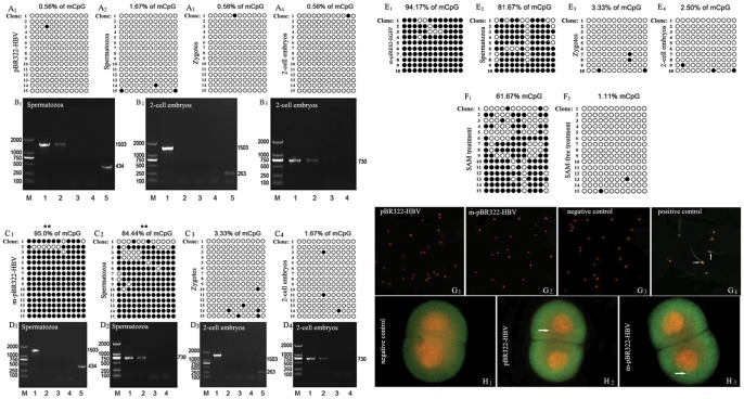 LTR methylation and gag expression of HIV-1 in the plasmid-transfected spermatozoa and sperm-derived zygotes and 2-cell embryos. A: The detection of LTR methylation by BSP and Thymine/Adenine cloning while transfection with unmethylated plasmid. The methylation status of 15 clones for each sample is presented; each column represents one CpG position in the U3-R region, with each circle in the column indicating either cytosine (open circles) or methyl cytosine (filled circles), the same below. (A 1 ) plasmid; (A 2 ) spermatozoa; (A3) zygotes; (A 4 ) 2-cell embryos. B: The detection of gag transcription while transfection with unmethylated plasmid (B 1 ) the results of RT-PCR. M: Marker; 1: positive control; 2: spermatozoa; 3: -RT; 4: -T; 5: human β-actin. (B 2 ) the results of first-round of nested RT-PCR. M: Marker; 1: positive control; 2∶2-cell embryos; 3: -RT; 4: -T; 5: hamster β-actin. (B 3 ) the results of second-round of nested RT-PCR. M: Marker; 1: positive control; 2: the first round product; 3: -RT; 4: -T. The results showed a clear correlation between LTR methylation and gag transcription of HIV-1 either in spermatozoa or in 2-cell embryos. C: The detection of LTR methylation while transfection with methylated plasmid. (C 1 ) plasmid; (C 2 ) spermatozoa; (C 3 ) zygotes; (C 4 ) 2-cell embryos. D: The detection of gag transcription while transfection with methylated plasmid. (D 1 ) the results of first-round of nested RT-PCR. M: Marker; 1: positive control; 2: spermatozoa; 3: -RT; 4: -T; 5: human β-actin. (D 2 ) The results of second-round. M: Marker; 1: positive control; 2: the first round product; 3: -RT; 4: -T. (D 3 ) the results of first-round of nested RT-PCR M: Marker; 1: positive control; 2∶2-cell embryos; 3: -RT; 4: -T; 5: hamster β-actin. (D 4 ) the results of second-round. M: Marker; 1: positive control; 2: the first-round product; 3: -RT; 4: -T. The results showed a clear correlation between LTR methylation and gag transcription of HIV-1 either in 