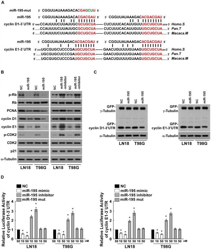 miR-195 downregulates cyclin D1 and cyclin E1 by directly targeting their 3 ′ -UTRs. A , Predicted miR-195 target sequence in the 3′-UTR of cyclin D1 and cyclin E1 (cyclin D1 3′-UTR and cyclin E1 3′-UTR) and illustration of the three altered nucleotides in miR-195-mut. B , Western blotting analysis of expression of phosphorylated Rb (p-Rb), total Rb, PCNA, cyclin D1, cyclin E1, CDK2 and p21 in indicated cells. α-Tubulin served as the loading control. C , Western blotting analysis of GFP expression in indicated cells. D , Luciferase assay of indicated cells transfected with the pGL3-cyclin D1-3′UTR reporter (left) or the pGL3-cyclin E1-3′UTR reporter (right) with increasing amounts (10, 50 nM) of miR-195 mimic, or miR-195 inhibitor, or miR-195 mutant. Each bar represents the mean ± SD of three independent experiments. * P