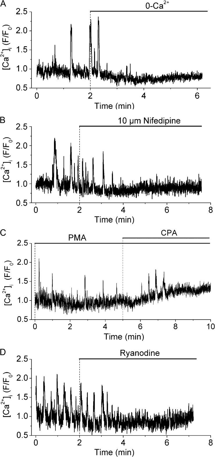 Effect of extracellular Ca 2+ removal, nifedipine, CPA, and ryanodine on PMA-induced Ca 2+ oscillations. Ca 2+ oscillations in single airway SMCs induced by 10 µM PMA (added 30 min before the recording started) and its inhibition by: (A) superfusion with Ca 2+ -free sHBSS, (B) 10 µM nifedipine, (C) 10 µM CPA, or (D) 25 µM ryanodine. Each trace is representative of four experiments in lung slices from three mice.