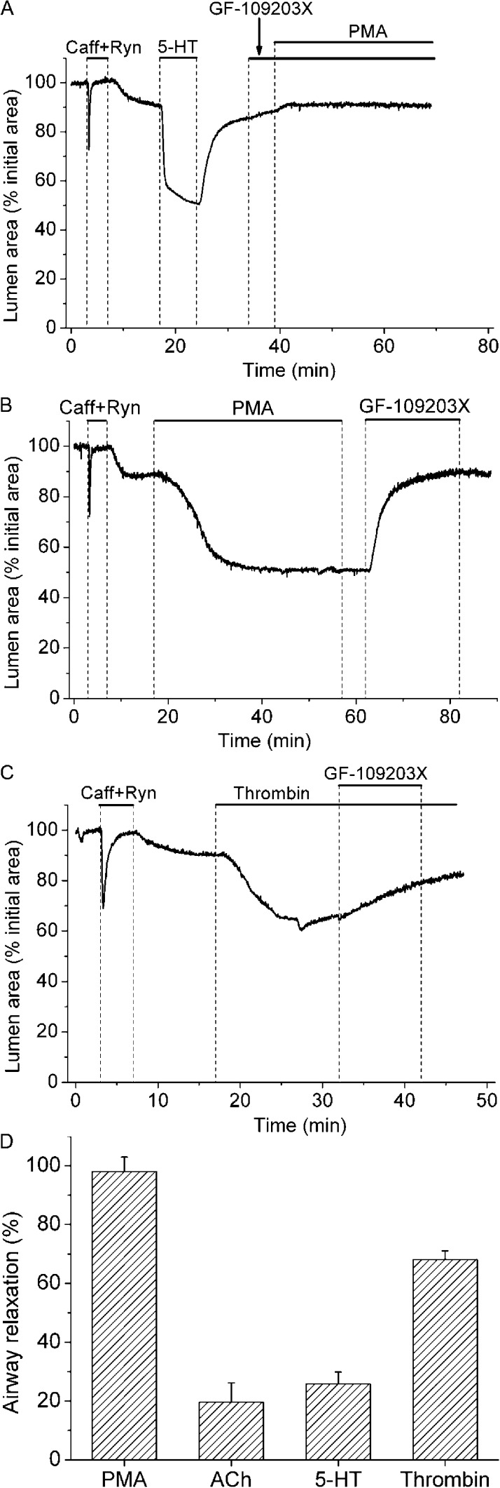 Effect of PKC inhibitor GF-109203X on Ca 2+ sensitization induced by PMA or contractile agonists. Lung slices were first exposed to 20 mM caffeine plus 25 µM ryanodine (upper bars) to induce Ca 2+ permeabilization. (A) Representative experiment showing the effect of airway exposure to 1 µM GF-109203X before and during stimulation with 10 µM PMA. Contractile response of the airways after Ca 2+ permeabilization was accessed with 0.5 µM 5-HT before their exposure to GF-109203X and PMA. This experiment is representative of six lung slices from three mice. (B and C) Airway contraction induced by PMA or 0.1 U/ml thrombin and the subsequent relaxation induced by GF-109203X. (D) Summary of the effect of GF-109203X on airway contraction in Ca 2+ -permeabilized airways precontracted with 10 µM PMA, 0.25 µM ACh, 0.5 µM 5-HT, and 0.1 U/ml thrombin. Airway relaxation (mean ± SEM; n = 5 lung slices from 3 mice) was obtained from experiments similar to that shown in B and C using the appropriated contractile agonist or PMA.