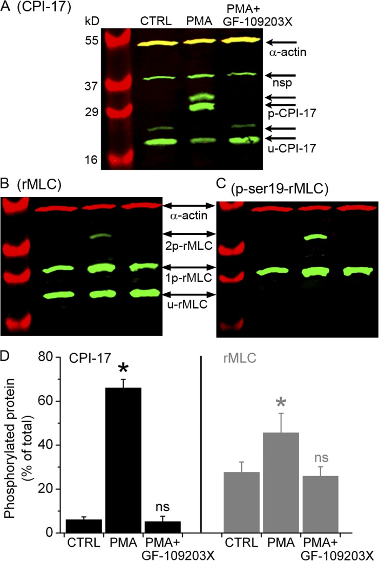 Phosphorylation of CPI-17 and rMLC induced by PMA and inhibited by GF-109203X. Separation of (A) phosphorylated (p-CPI-17) and unphosphorylated (u-CPI-17) CPI-17 and (B and C) mono-phosphorylated (1p-rMLC), bi-phosphorylated (2p-rMLC), and unphosphorylated (u-rMLC) rMLC by SDS-PAGE with polyacrylamide-bound phosphate-binding tag (Phos-tag SDS-PAGE) and detected by specific antibodies using Western blot. The Western blots in B and C were obtained after stripping previous antibodies and reprobing the membrane in A with antibodies directed against total rMLC and subsequently against phosphorylated rMLC at serine 19 (p-ser19-rMLC), respectively. Samples were prepared from selected lung slices that contained airways but not arteries and were incubated with 20 mM caffeine plus 25 µM ryanodine for 5 min, washed with sHBSS, and then incubated for 40 min with sHBSS (CTRL), 10 µM PMA, or PMA followed by 10-min exposure to 1 µM GF-109203X (upper labels). The antibody against CPI-17 detected two CPI-17 splice variants (arrow pairs) along with a nonspecific (nsp) band, as indicated by the manufacturer. Parallel samples were separated in an SDS-PAGE without Phos-tag to identify the phosphorylated/unphosphorylated CPI-17 and rMLC by verifying that each of these forms migrated in the same position in the gel without Phos-tag. SMC α actin was detected in all samples. (D) Ratio values (mean ± SEM) of p-CPI-17 to total CPI-17 and 1p+2p-rMLC to total rMLC from three experiments similar to that presented in A and B from three mice are shown.