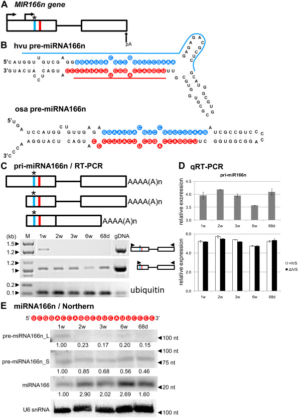 Schematic representation of the MIR166n gene and its precursors. Detection of pri-, pre- and mature miR166n. ( A ) MIR166n gene structure. ( B ) pre-miRNA166n hairpin structure (ΔG=−61 kcal/mol) and its rice orthologue (ΔG=−52.3 kcal/mol); blue and red lines indicate hybridization regions as described in Figure 1 . ( C ) pri-miRNA166n structures (upper panel); RT-PCR analysis of their expression in five barley developmental stages studied (lower panel). ( D ) Real-time PCR measurements of total pri-miRNA166n expression level (upper graph) and its spliced (ΔIVS) and unspliced variants (+IVS) (lower graph); bars on the charts represent standard deviation. Values are shown as the mean ±SD (n=3) from three independent experiments. ( E ) Nucleotide sequence of the mature miR166n molecule, and detection of pre-miRNA166n long (L) and short (S) intermediates, and mature miR166n using Northern hybridization. U6 was used as a loading control. The levels of pre-miRNAs and miRNA were calculated as described in Figure 1 . Colors, abbreviations, and symbols as in Figure 1 .