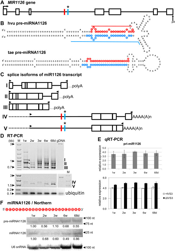 Schematic representation of the MIR1126 gene and its precursors. Detection of pri-, pre- and mature miR1126. ( A ) MIR1126 gene structure. ( B ) pre-miRNA1126 hairpin structure (ΔG=−78.4 kcal/mol) and its wheat orthologue (ΔG=−73.27 kcal/mol); blue and red lines indicate hybridization regions as described in Figure 1 . ( C ) Structures of splice isoforms (I–V) of the miR1126 transcript; dashed lines represents unamplified 5 ′ fragments of the noncoding RNA isoforms IV and V; …polyA indicates a putative polyA site in splice isoforms as the determination of an accurate polyA site for PCR products is not possible. ( D ) RT-PCR expression analysis of splice isoforms (I–V) of the miR1126 transcript in all barley developmental stages studied. Half-open arrows on agarose gel indicate specific, identified products. ( E ) Real-time PCR measurements of total pri-miRNA1126 expression levels (upper graph) and pri-miR1126 fragments carrying the third intron (+IVS3) and after the third intron splicing (ΔIVS3) (lower graph); bars on the charts represent standard deviation. Values are shown as the mean ±SD (n=3) from three independent experiments. ( F ) Nucleotide sequence of the mature miR1126 molecule, and detection of pre-miRNA and mature miR1126 using Northern hybridization. U6 was used as a loading control. The levels of pre-miRNAs and miRNA were calculated as described in Figure 1 . Colors, abbreviations, and symbols as in Figure 1 .