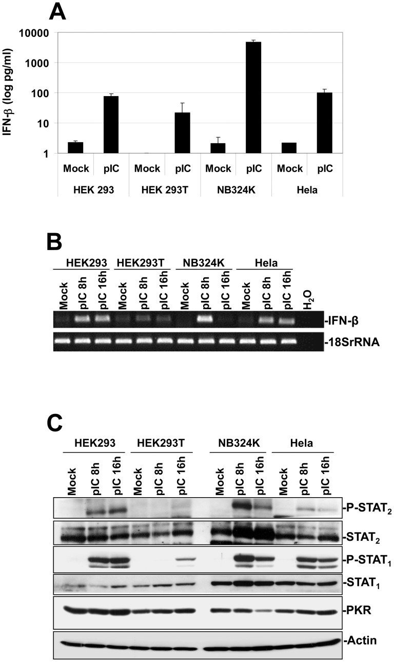 Stimulation of an IFN-mediated antiviral response in human transformed or tumor cells upon Poly(I:C) transfection. ( A ) HEK293, HEK293T, NB324K and Hela cultures were transfected with 2 µg/ml of synthetic dsRNA Poly(I:C) (pI:C) or a 150 mM NaCl solution as control, using lipofectamine 2000 for the period indicated in the figure. The respective culture media were then collected, centrifuged to discard cellular debris, and analyzed by Enzyme-linked Immuno-Sorbent Assay (ELISA) for their content in human IFN-β. Each result is represented as mean+standard deviation of three independent experiments. ( B ) Expression of IFN-α and IFN-β transcripts in mock-treated or pI:C-transfected human cell lines was assessed by RT-PCRs. At the indicated time points, total RNAs were extracted from the respective cultures using the RNeasy kit. One µg of RNA was then treated by DNase I in order to remove potential contaminating DNA and reverse transcribed into cDNA. A fraction of the obtained cDNA (1/10) was then analyzed by PCR for its content in type-I IFN transcripts using specific primer pairs. Transcripts encoding the Human 18S ribosomal protein were used as internal loading controls. Data shown are representative of 3 experiments which gave similar results. ( C ) Assessment of the IFN-signaling (Jak/STAT) pathway activation in HEK293, HEK293T, NB324K and Hela cells upon pI:C transfection. At the time indicated mock-treated or pI:C-transfected (2 µg/ml) cultures were harvested by scraping in PBS and centrifuged. Cell pellets were then re-suspended in complete Ripa buffer supplemented with phosphatase and protease inhibitors. Total proteins were extracted from each sample as described in Materials and Methods . Fifty µg total proteins per sample were then subjected to bipartite 8/10% SDS-PAGE, transferred onto membranes, and probed with antibodies specific for phosphorylated and total isoforms of STAT 1 and STAT 2 as well as with an antibody specific to PKR. Actin was used as an int