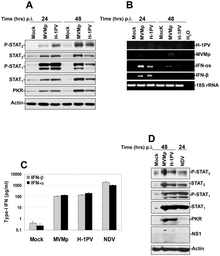 Activation of both IFN-producing and IFN-signaling pathways in hPBMCs upon parvovirus infection and comparison of their intensity to that triggered by NDV. ( A , B and D ) hPBMCs collected from the blood of healthy donors were distributed into 6-well plates at 1×10 7 cells/5 ml culture medium/well. They were then mock-treated or infected with MVMp or H-1PV at 20 PFUs/cell or with NDV (6 HU/10 6 cells). Cultures were harvested in PBS and centrifuged at the time p.i. indicated in each figure. ( A , D ) One half of each pellet was resuspended in Ripa buffer supplemented with phosphatase and protease inhibitors in order to perform Western blot experiments whereas ( B ) total RNAs were extracted from the rest of each cell pellet using the RNeasy kit. ( A , D ) Total proteins were extracted from each sample as described in Materials and Methods . Seventy µg total proteins per sample were then subjected to 10% SDS-PAGE, transferred onto membranes, and probed with antibodies specific for total and phosphorylated STAT 2 and STAT 1 polypeptides as well as for PKR. Actin was used as an internal loading control. Each presented blot is representative of 4 additional which gave similar results. ( B ). One µg of isolated total RNA was then reverse transcribed into cDNA and 10% of this product was subjected to PCR reactions using sets of primers specific to each indicated mRNA. PCR product of 18S ribosomal RNA was used as housekeeping gene to normalize loading. No signal was detected in the samples when omitting the reverse transcriptase. Presented data are representative of 4 experiments which all gave similar results. ( C ) hPBMCs collected from the blood of healthy donors were distributed into 24-well plates at 1×10 6 cells/500 µl culture medium/well. They were then mock-treated or infected with MVMp, H-1PV (20 PFUs/cell) or NDV (6 HU/10 6 cells). After a period of incubation of 24 hrs media were collected, centrifuged in order to discard cellular debris and analyzed by Enzyme-l