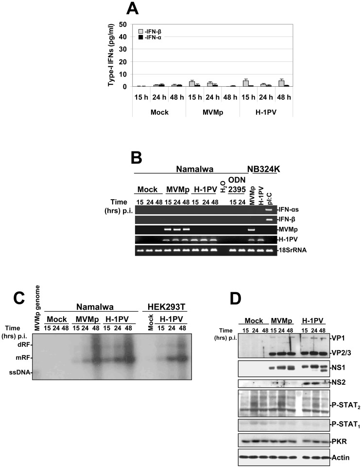 Activation of a TLR-9 dependent production of type-I IFNs in parvovirus-infected human Namalwa cells. The cells (1.10 6 cells/well of a 24-well plate) were either infected with MVMp or H-1PV (∼80 PFUs/cell equivalent to 1×10 4 virus genomes/cell), stimulated with the TLR-9 agonist ODN 2395 at 1 µM, or mock-treated. ( A ) At the indicated time points culture supernatants were collected from the respective wells and used to determine the quantity of type-I IFNs released in the culture medium by ELISA experiments. Results are expressed as means+standard deviations of three independent experiments. ( B ) Mock-treated, parvovirus-infected or ODN stimulated Namalwa cells were harvested at the indicated time points and total RNAs were extracted using the RNeasy kit as described previously in Figure 1 . Total RNAs extracted from parvovirus-infected (24 hrs p.i. at 80 PFUs/cell) or pI:C-transfected (15 hrs post-transfection with 2 µg dsRNA/ml) NB324K cells were used as positive or negative controls. Presented data are representative of 3 experiments which all gave similar results. ( C ) Total DNA was harvested at the indicated time points from parvovirus-infected (MOI of 80 PFUs/cell) or mock-treated Namalwa or HEK293T cultures to assess by Southern blot experiments as described in Figure 2 the replication of both parvoviruses (dRF, dimmer replicative form; mRF, monomeric replicative form; ssDNA, single-stranded DNA genome). The blot shown is representative of 3 experiments which gave similar results. ( D ) Cell pellets from mock-treated or parvovirus-infected Namalwa cultures were re-suspended in complete Ripa buffer and Western blotting was performed as described in Figure 6 . Actin was used as an internal loading control. Each presented blot is representative of 3 experiments which gave similar results.
