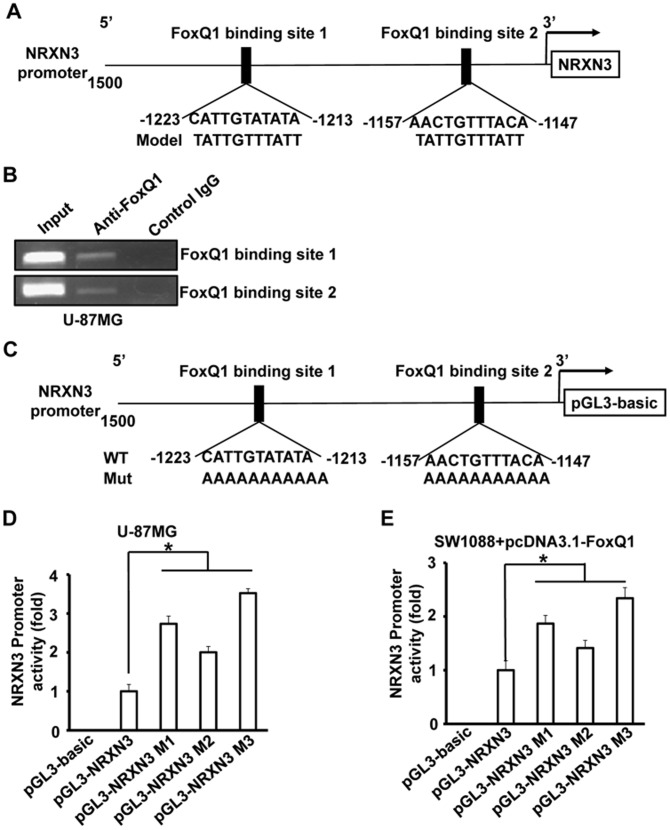 The NRXN3 as a transcriptional target of FoxQ1. A , Sequence and position of putative FoxQ1 binding sites on the NRXN3 promoter. B , ChIP assays were done with U-87MG cells. Chromatin fragments of the cells were immunoprecipitated with anti-FoxQ1 antibody or negative control IgG (middle) and subjected to PCR. We subjected 1% of the total cell lysates to PCR before immunoprecipitation as inputs. C , schematic structure of the NRXN3 promoter. The sequence of the FoxQ1 binding sites are shown in both wild-type (WT) and mutant (Mut) forms. D+E , Luciferase activity with or without mutations in NRXN3 promoter. U-87MG cells were transfected with the wild-type NRXN3 promoter or its mutants (D). SW1088 cells were co-transfected with the wild-type NRXN3 promoter or its mutants and pcDNA3.1-FoxQ1 (E). Luciferase activities were then determined. Three independent experiments were conducted. * P