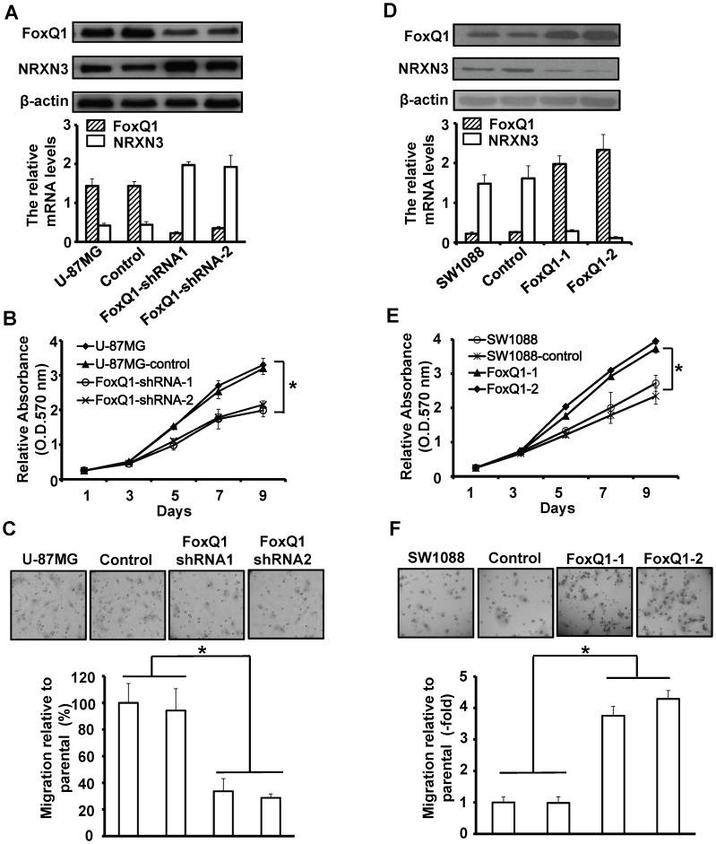 Effect of FoxQ1/NRXN3 expression on proliferation and migration of glioma cells in vitro . A+D , Western blot (upper) and RT-qPCR (lower) analyses of FoxQ1 and NRXN3 expression in stable FoxQ1shRNA-transfected U-87MG cells (A) and pcDNA3.1-FoxQ1-transfected SW1088 cells (D). B+E , Cells as in (A) or (B) were cultured in 96-well plates and analyzed by MTT assay. Cell proliferation curves were shown in 9 days. Three independent experiments were conducted. C+F , Cells as in (A) or (B) were examined for cell migration motility in 24-well plates with transwell chambers. Migrated cells were stained with crystal violet and counted under a light microscope. Three independent experiments were conducted. * P