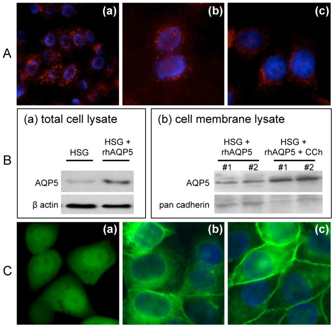 Increased membrane expression of GFP-tagged-recombinant human aquaporin 5 ( rhAQP5 ) following carbachol stimulation in HSG cells. (A) M3R expression was detected in HSG cells (red color) using polyclonal (a, b) or monoclonal (c) antibody by immunocytochemistry. Stained cells were observed at ×200 (a) and ×400 (b, c) magnifications. (B) hAQP5 protein expressions were examined by western blotting in total HSG cell lysates purified from non- or rhAQP5 vector-transfected HSG cells (a) and in HSG cell membrane fractions purified from transfected cells with or without CCh treatment (b) in duplicates #1 and #2. (C) To confirm the hAQP5 trafficking in HSG cells, control GFP (a) or rhAQP5 (c) vector transfected HSG cells were treated with carbachol (CCh, 100 μM) (a and c) or no stimulation (b). Images were taken under microscope with a ×400 magnification using a Zeiss Axiovert 200M microscope and obtained with AxioVs40 software (Ver. 4.7.1.0, Zeiss).